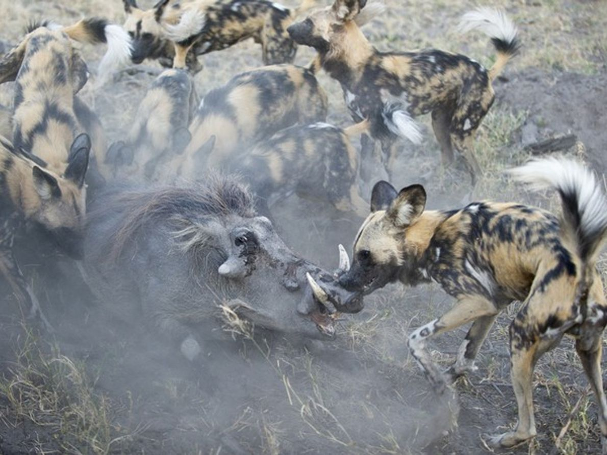 "Finalista Naturaleza Mundial: ""Perros salvajes cazando"""