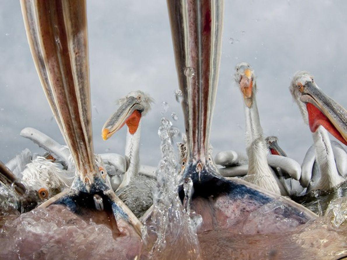 Finalista Naturaleza Mundial: Pelícanos hambrientos