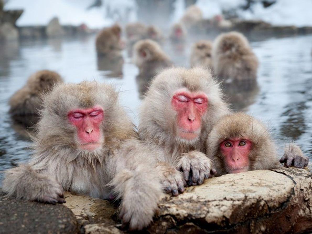 Macacos japoneses, Nagano