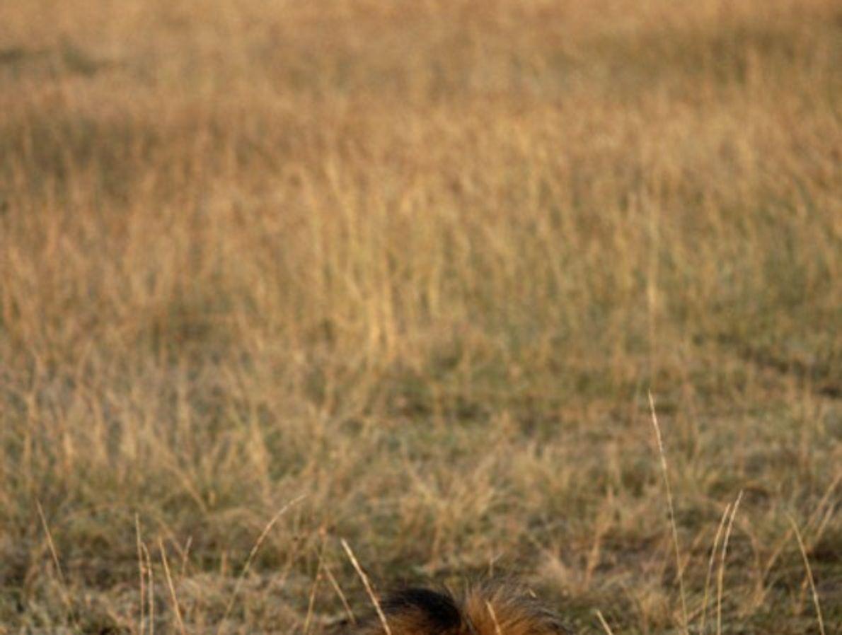 León en Kenia