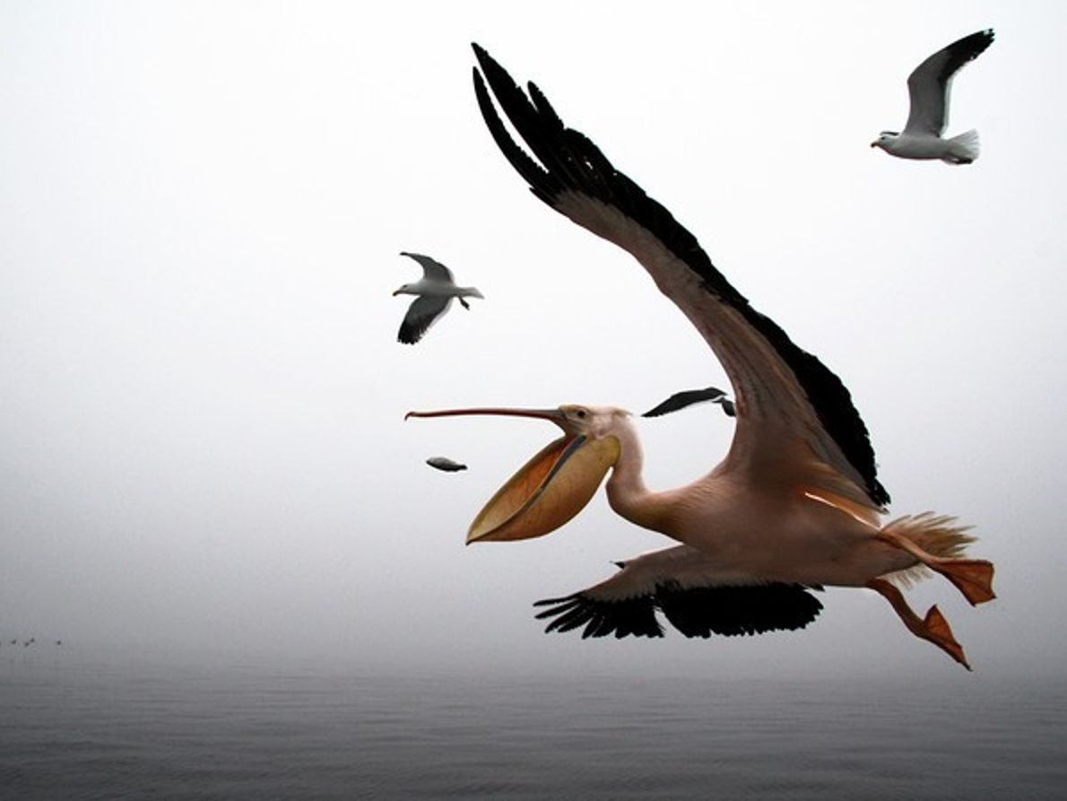 Pelicano, Namibia