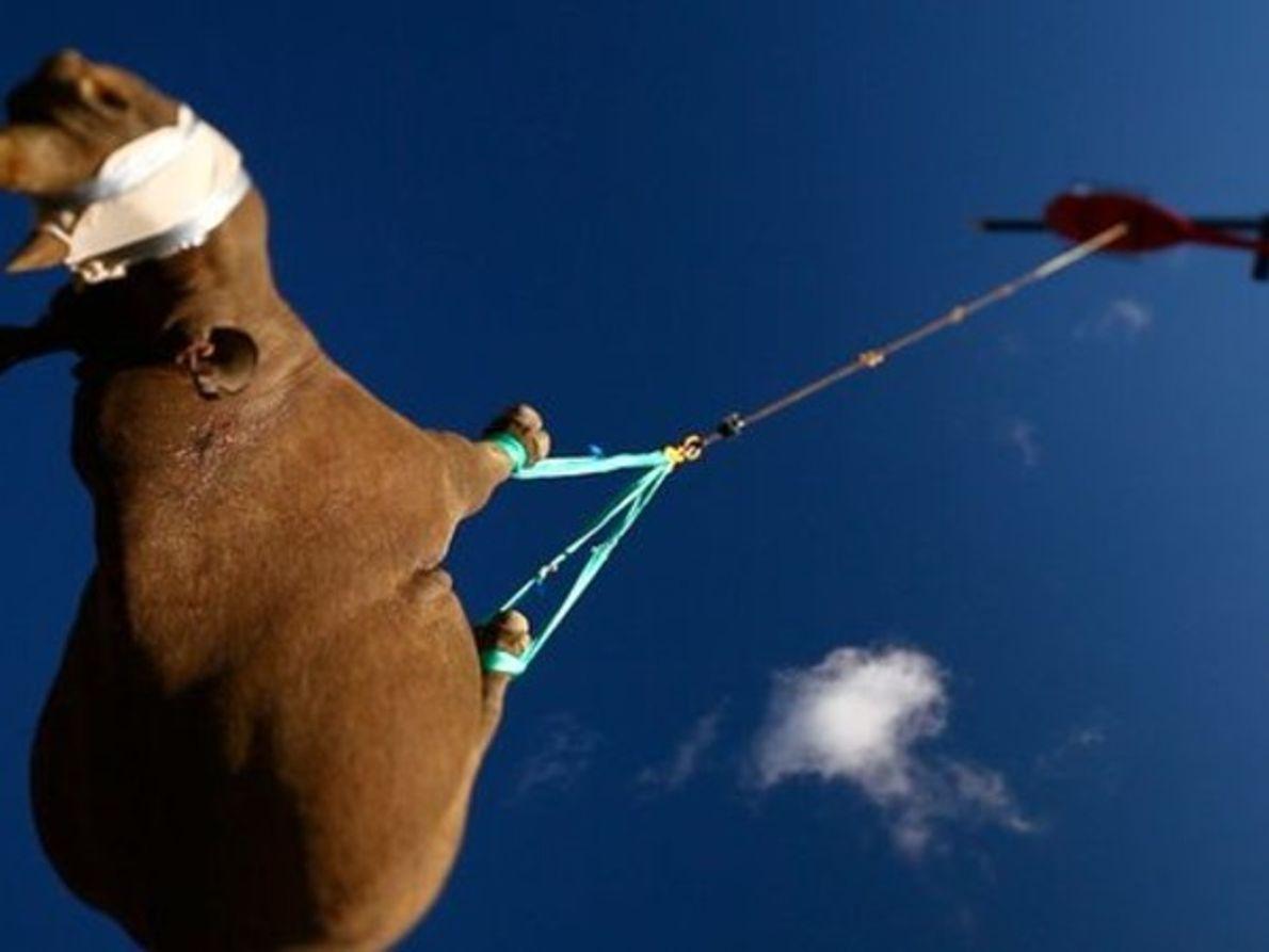 ¿Cómo se puede trasladar a un rinoceronte?