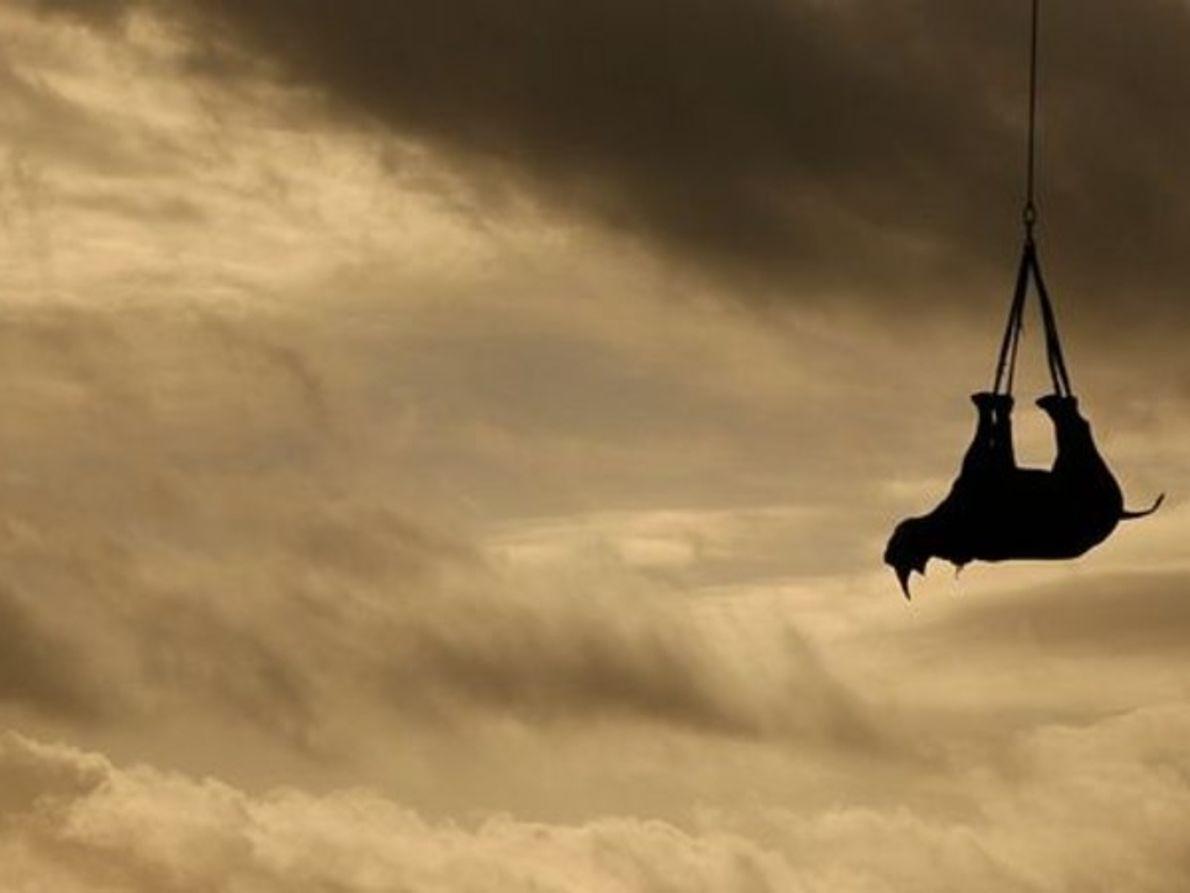 ?Trasladan a rinocerontes negros a lugares más seguros por vía aérea