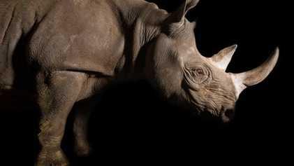 Los rinocerontes, entre las cinco especies más amenazadas del planeta
