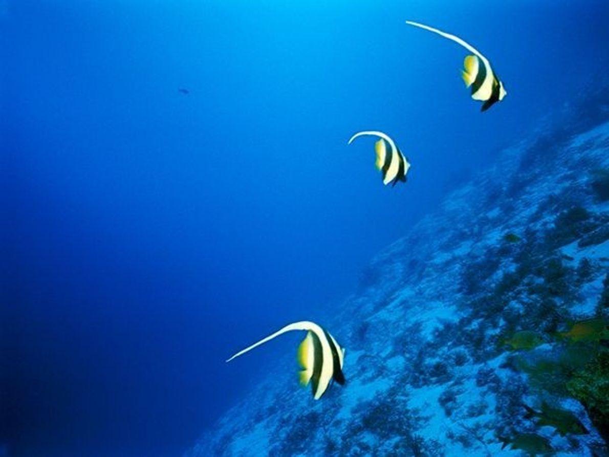 Bannerfish de aleta larga