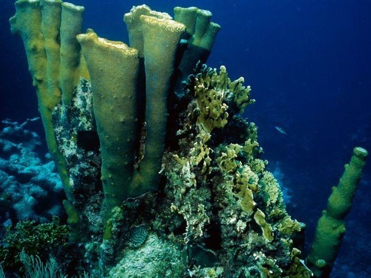 Coral, República Dominicana