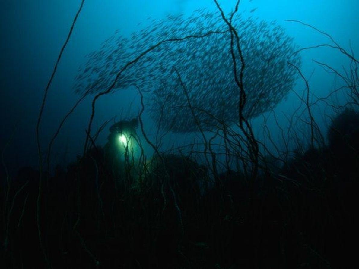Alambre de Coral, bahía de Suruga