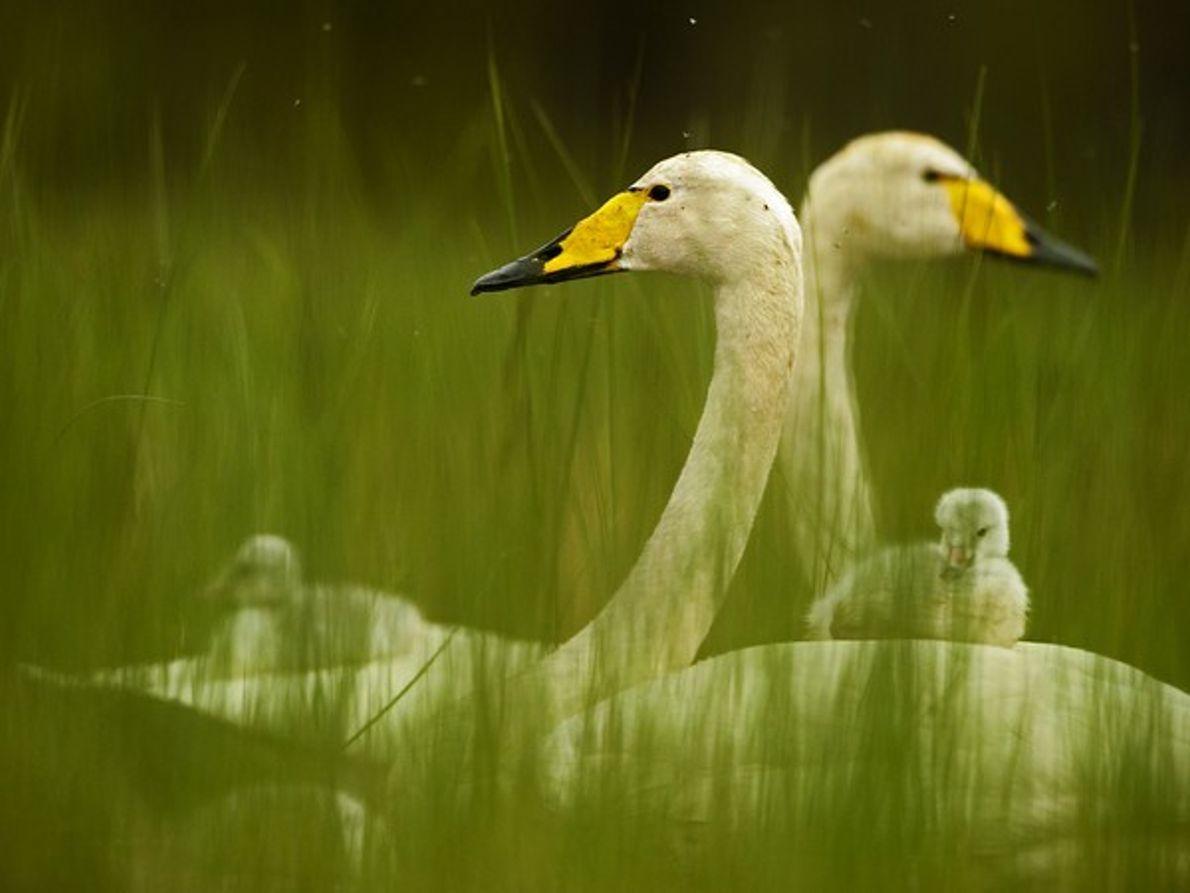 Familia de cisnes cantores