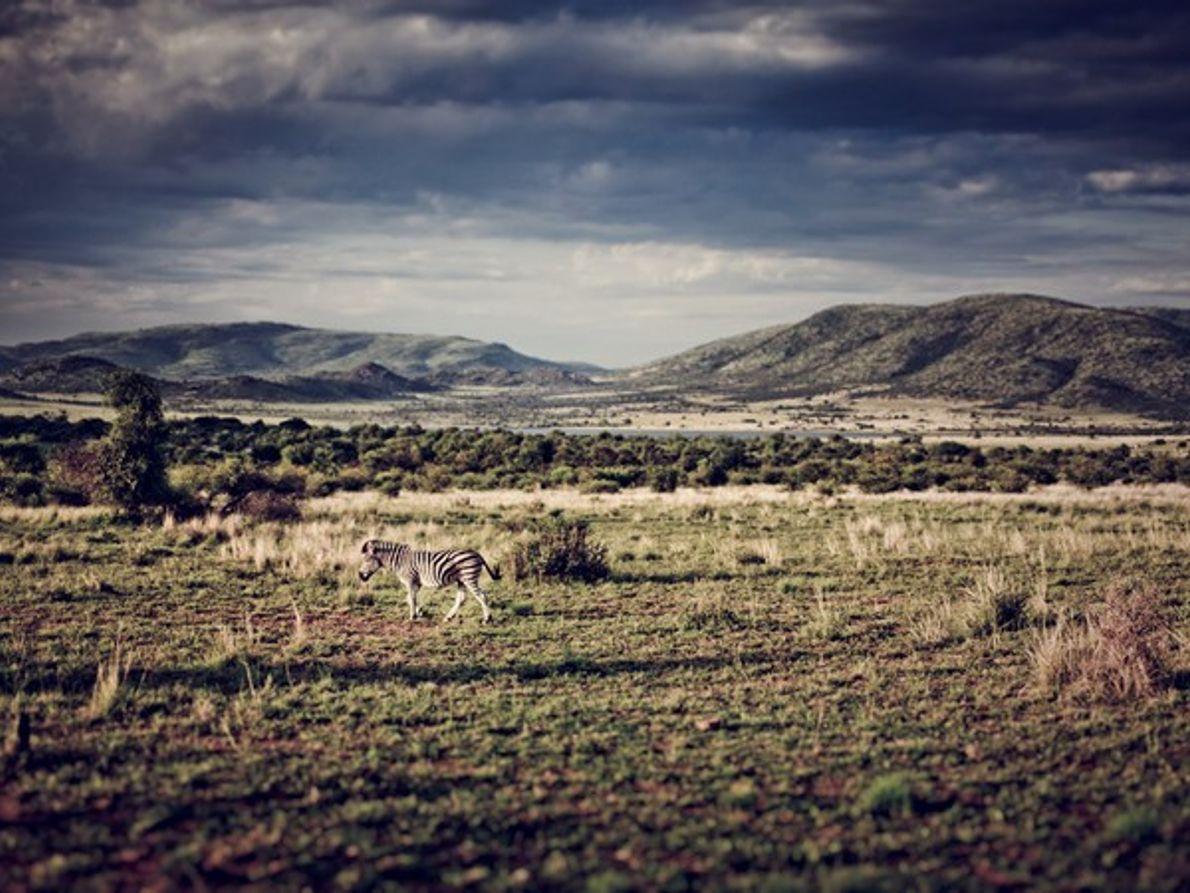 Cebra, Sudáfrica