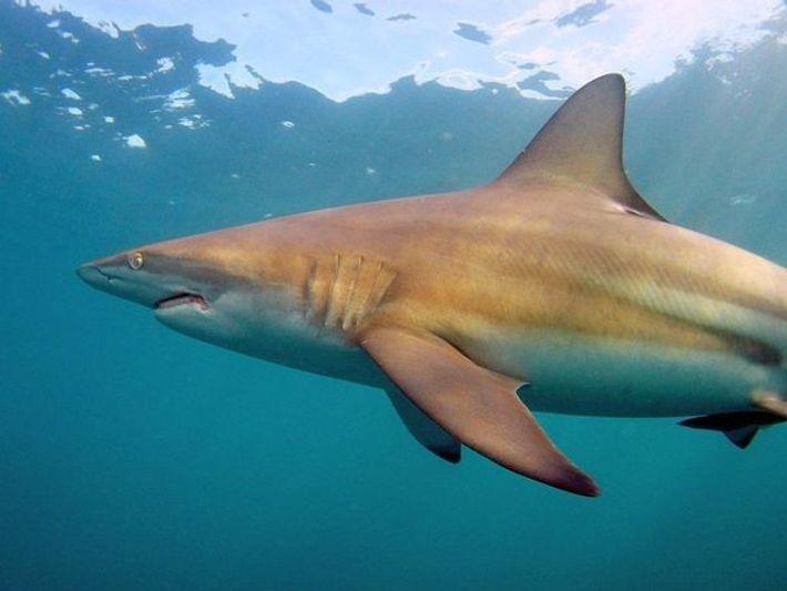 Tiburón carcharhinus limbatus