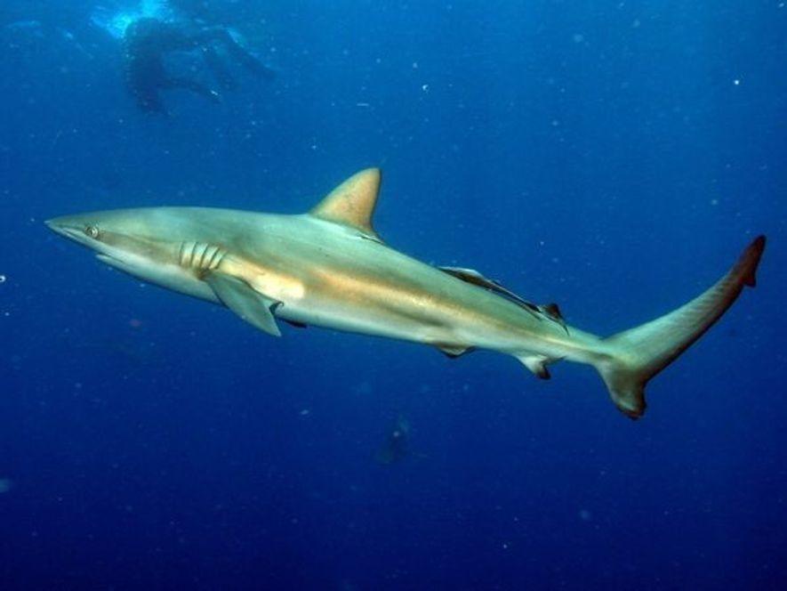 Un pez de gran tamaño con un hocico redondo y llegan a pesar 400 libras y ...