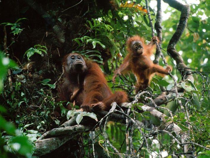 Cientos de orangutanes mueren cada año a manos de los humanos