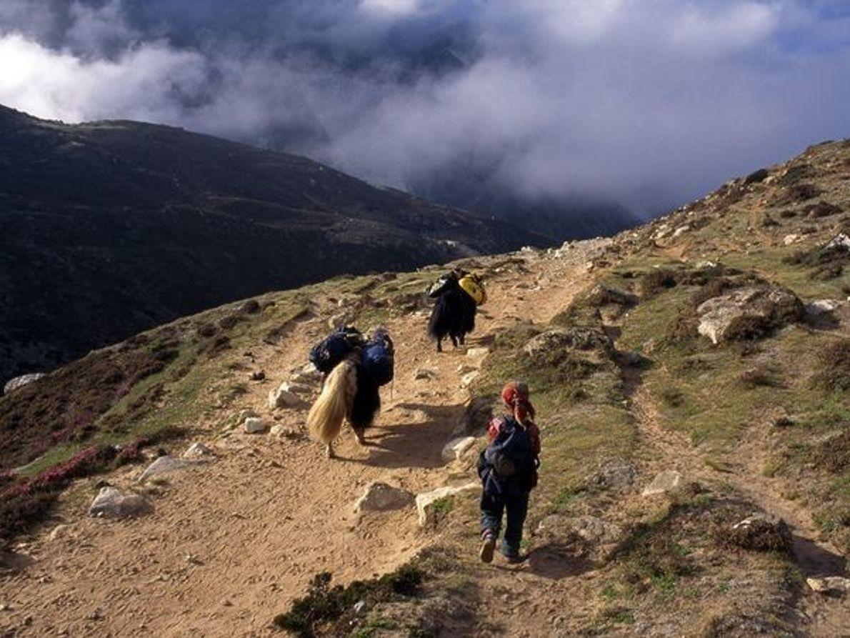 El pastoreo de yaks
