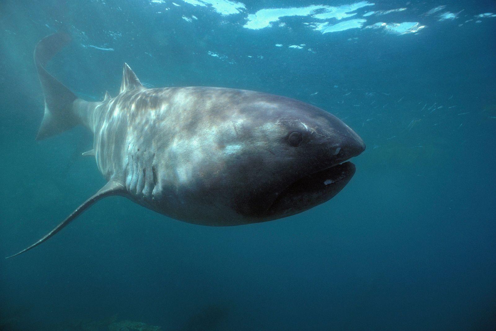Un tiburón de boca ancha fotografiado en la costa de California
