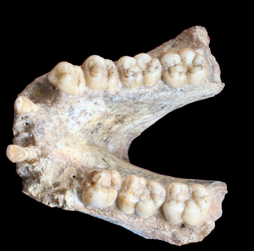 Mandíbula de un 'Gigantopithecus blacki' (P1-M2=74mm).