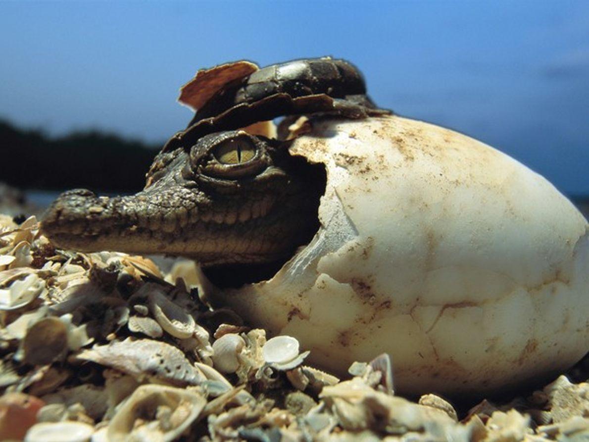 Eclosión de un cocodrilo