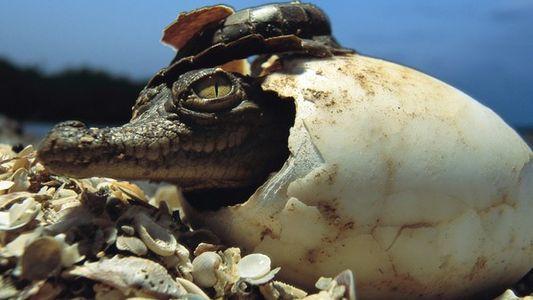 Caimanes y cocodrilos