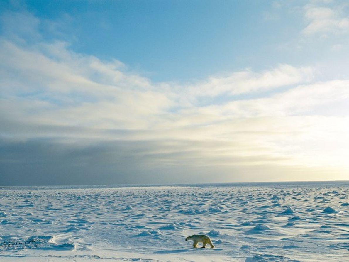 Oso polar en la tundra