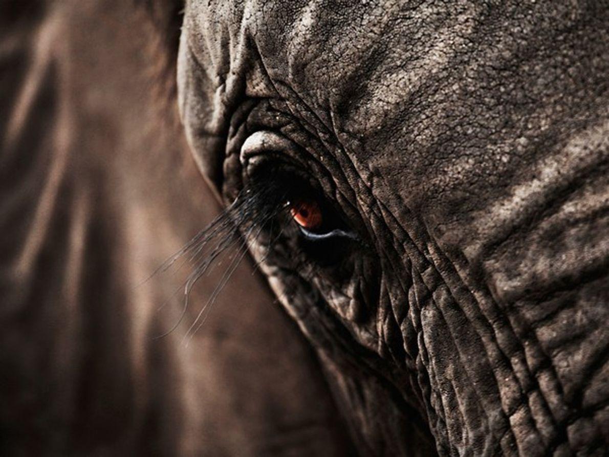 Elefante, Sudáfrica