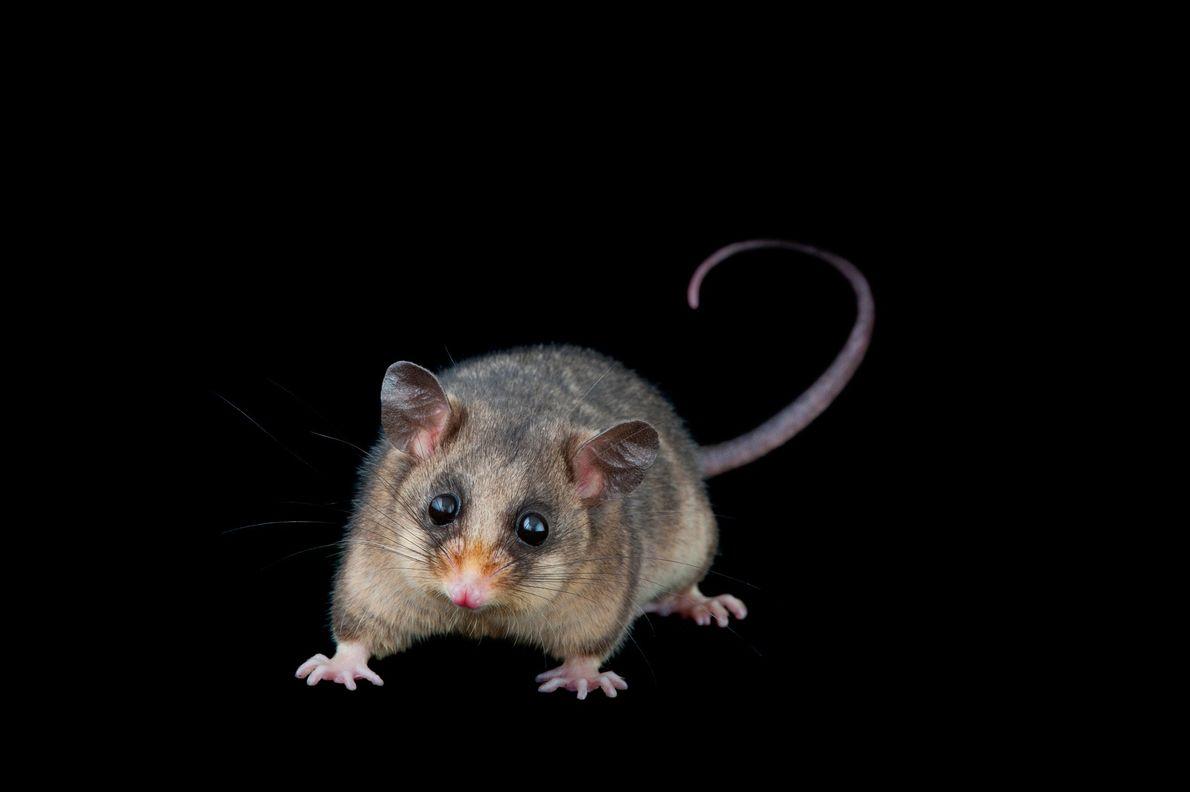 Oposum pigmeo