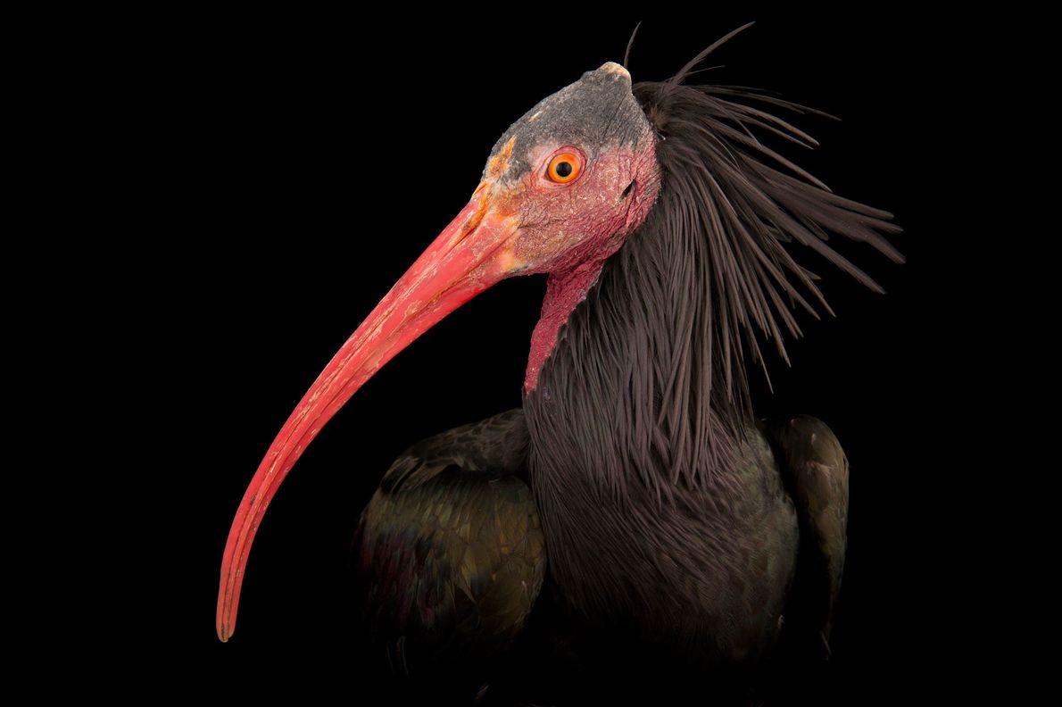Ibis eremita
