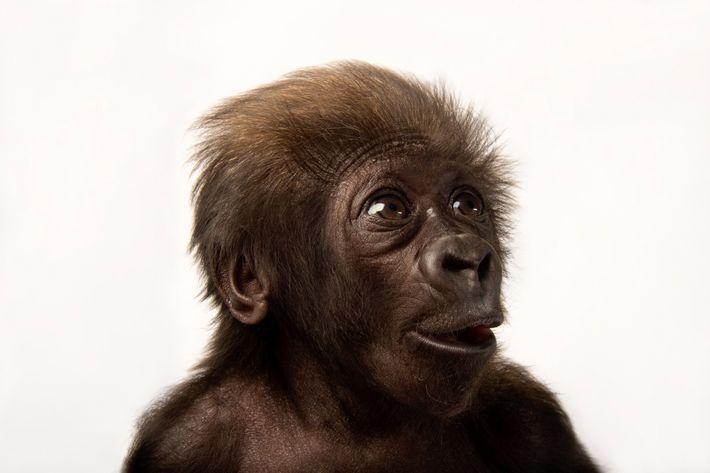 Gorila de llanura occidental