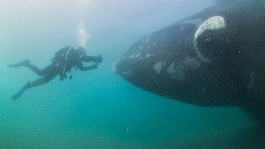 Un fotógrafo capta imágenes fascinante de ballenas francas