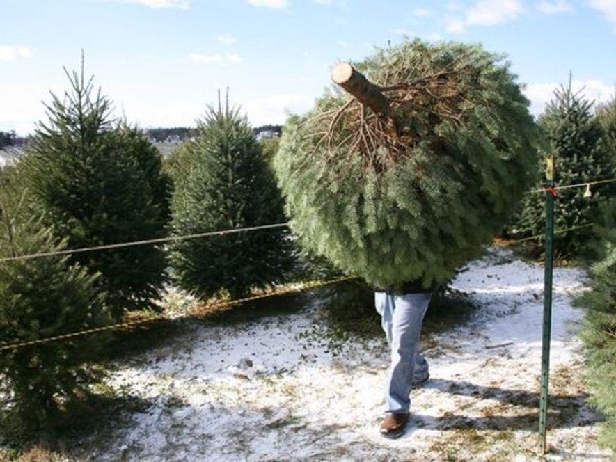 Si se gestiona y vende de forma apropiada, un árbol de Navidad natural puede ayudar al medio ambiente.