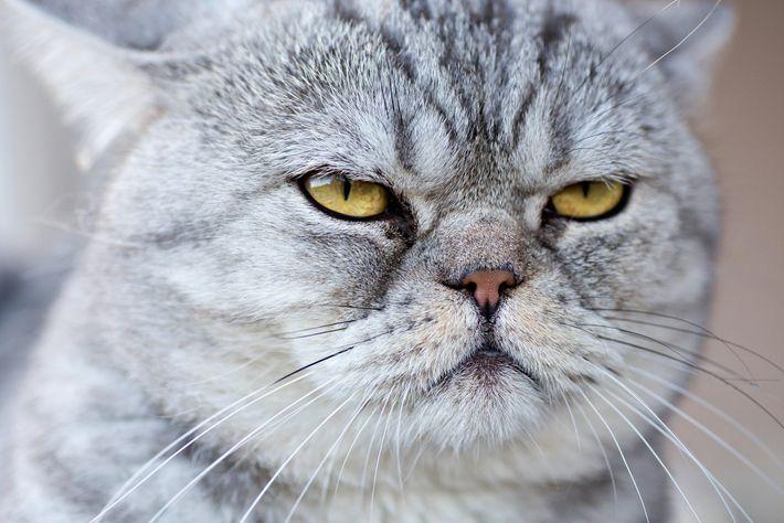 Fotografía de un gato doméstico