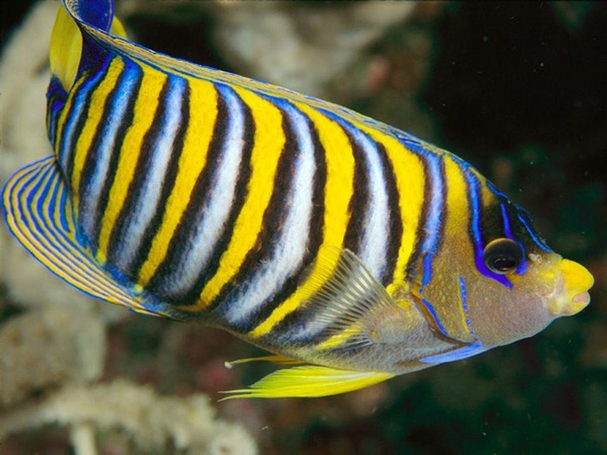 El pez ángel real atrae la atención con rayas alternas de llamativos colores en su cuerpo …