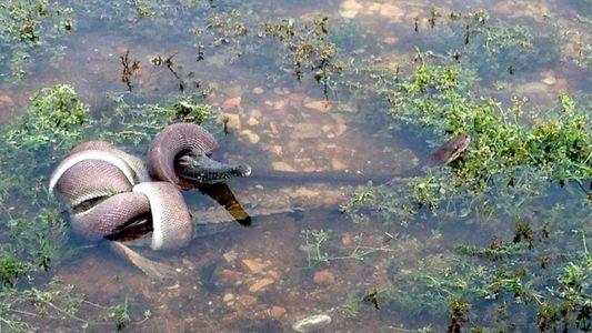 Fotografía: Una pitón capaz de tragarse un cocodrilo