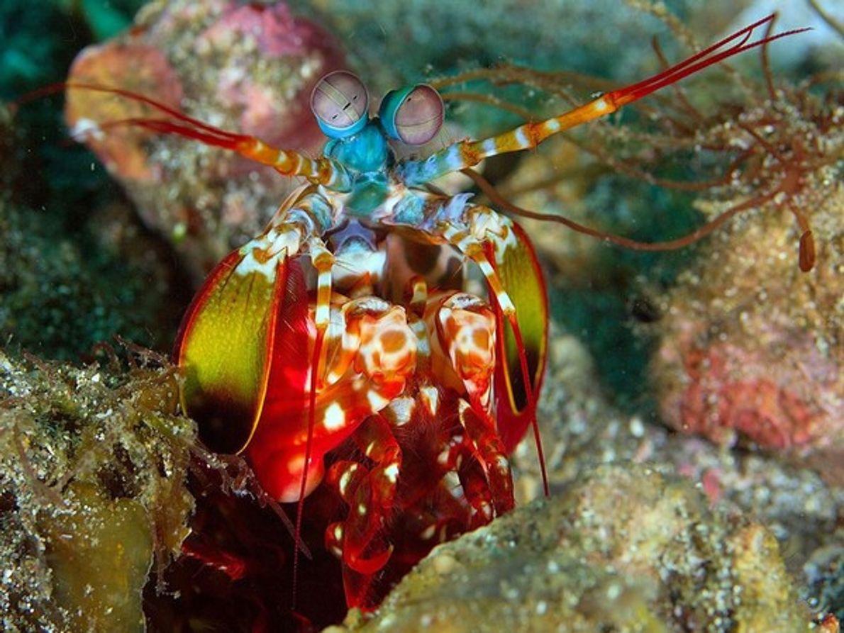 Esta criatura de otro mundo, el camarón mantis, fue fotografiado en las aguas del estrecho de …