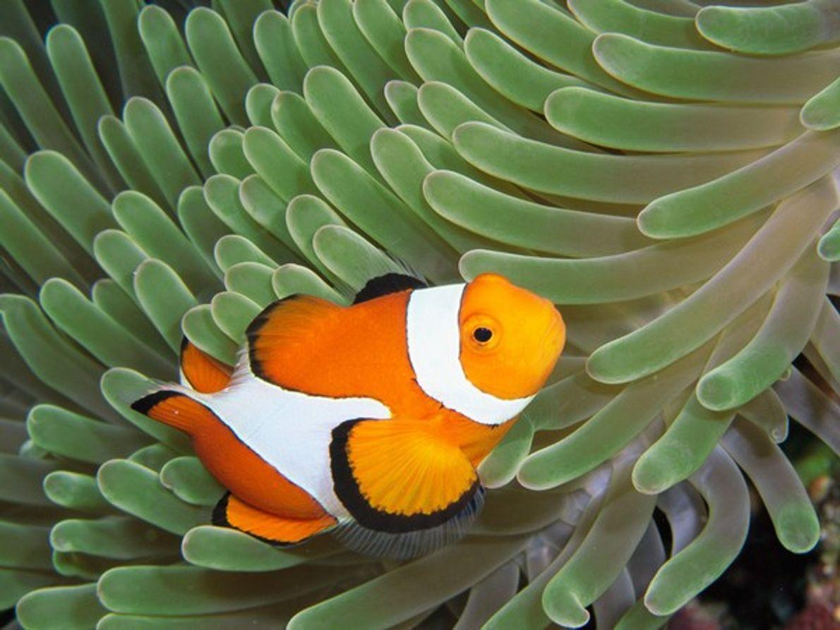 Un pez payaso se siente como en casa entre los punzantes tentáculos de una anémona, la …