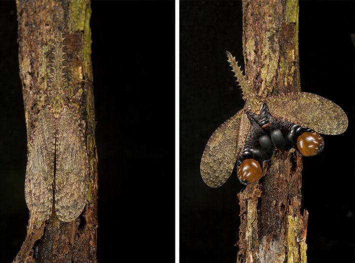 Mariposa caimán