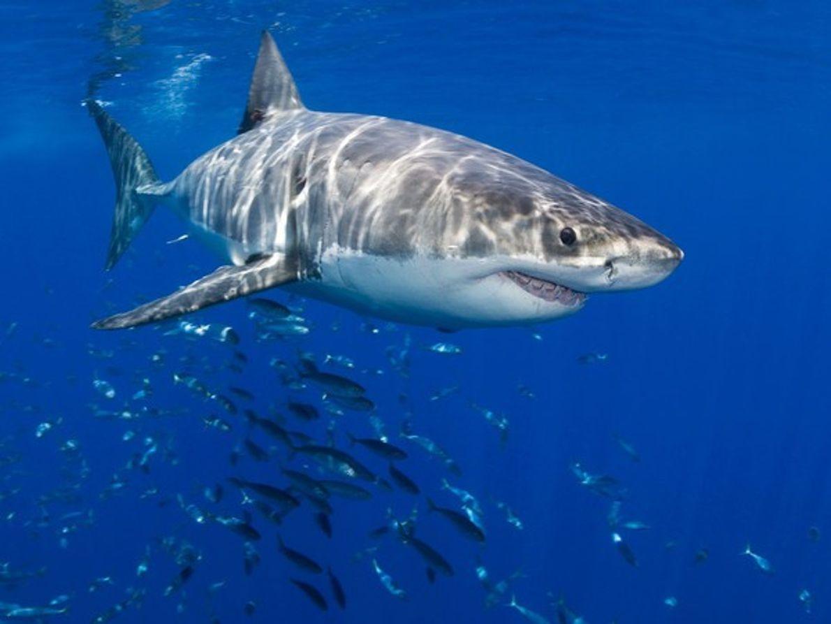 Gran tiburón blanco