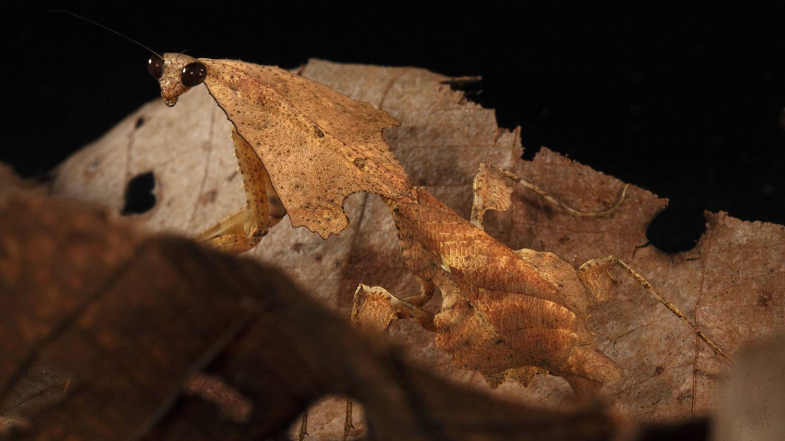 Mantis imita hoja muerta de Sagittaria entre hojas secas