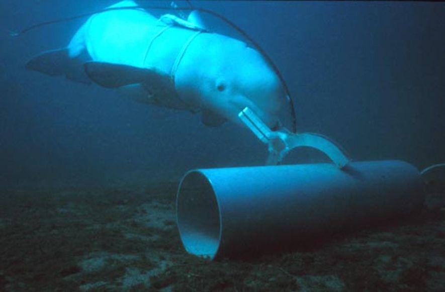 Una beluga de la Armada estadounidense marca un objetivo de entrenamiento.