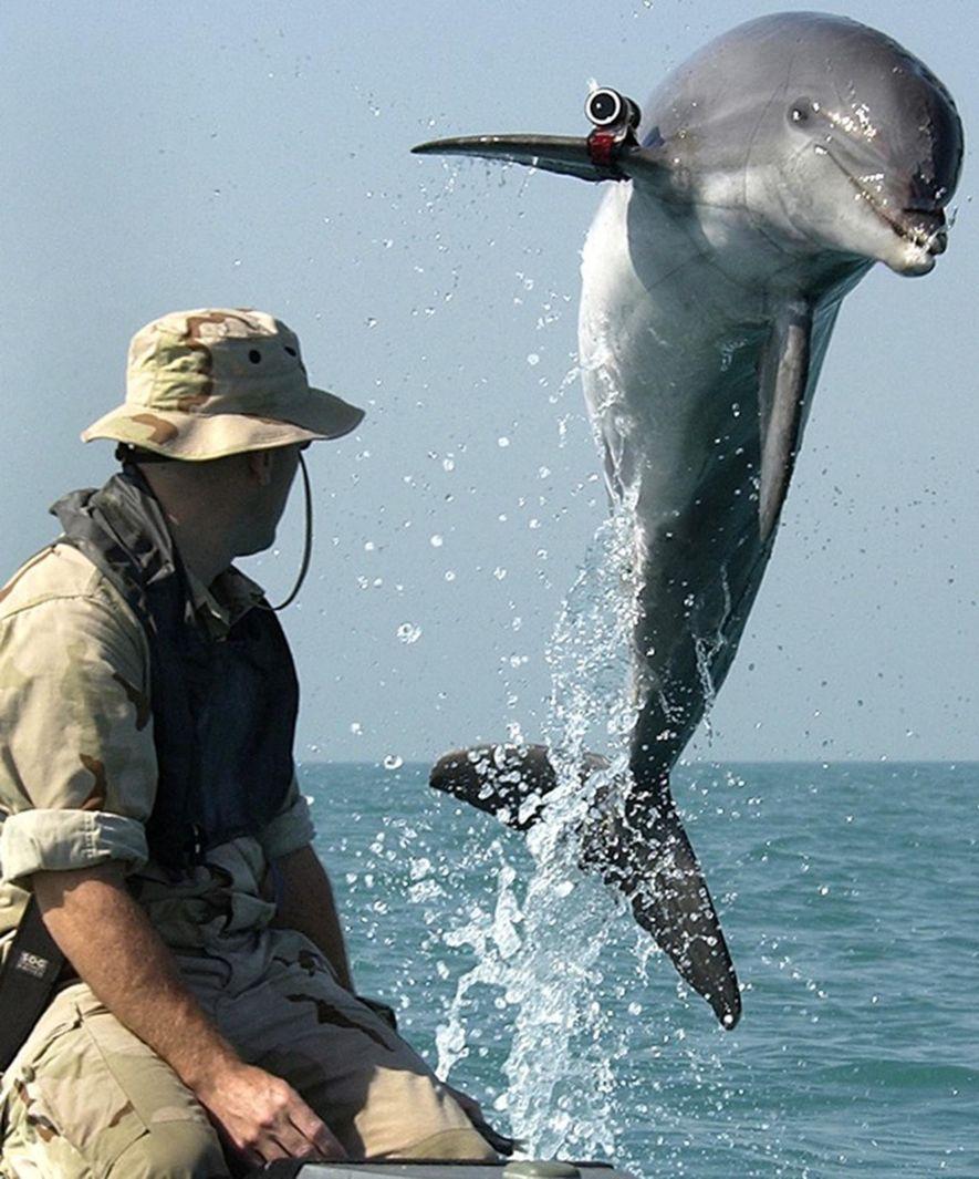 K-Dog, un delfín de nariz de botella, salta del agua frente al sargento Andrew Garrett durante su entrenamiento cerca del USS Gunston Hall en el golfo Pérsico.