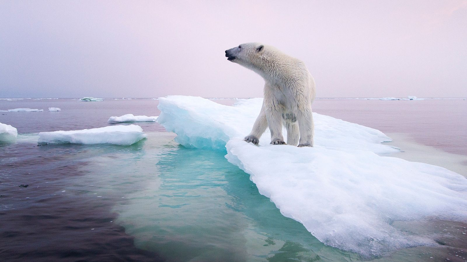 Oso polar, Canadá