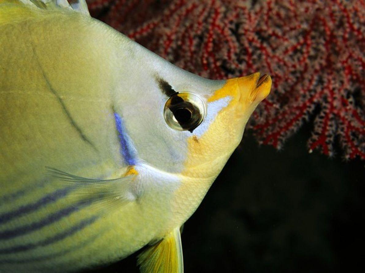 Un pez mariposa se alimenta en una gorgonia en la costa de Palaos, república isleña situada …