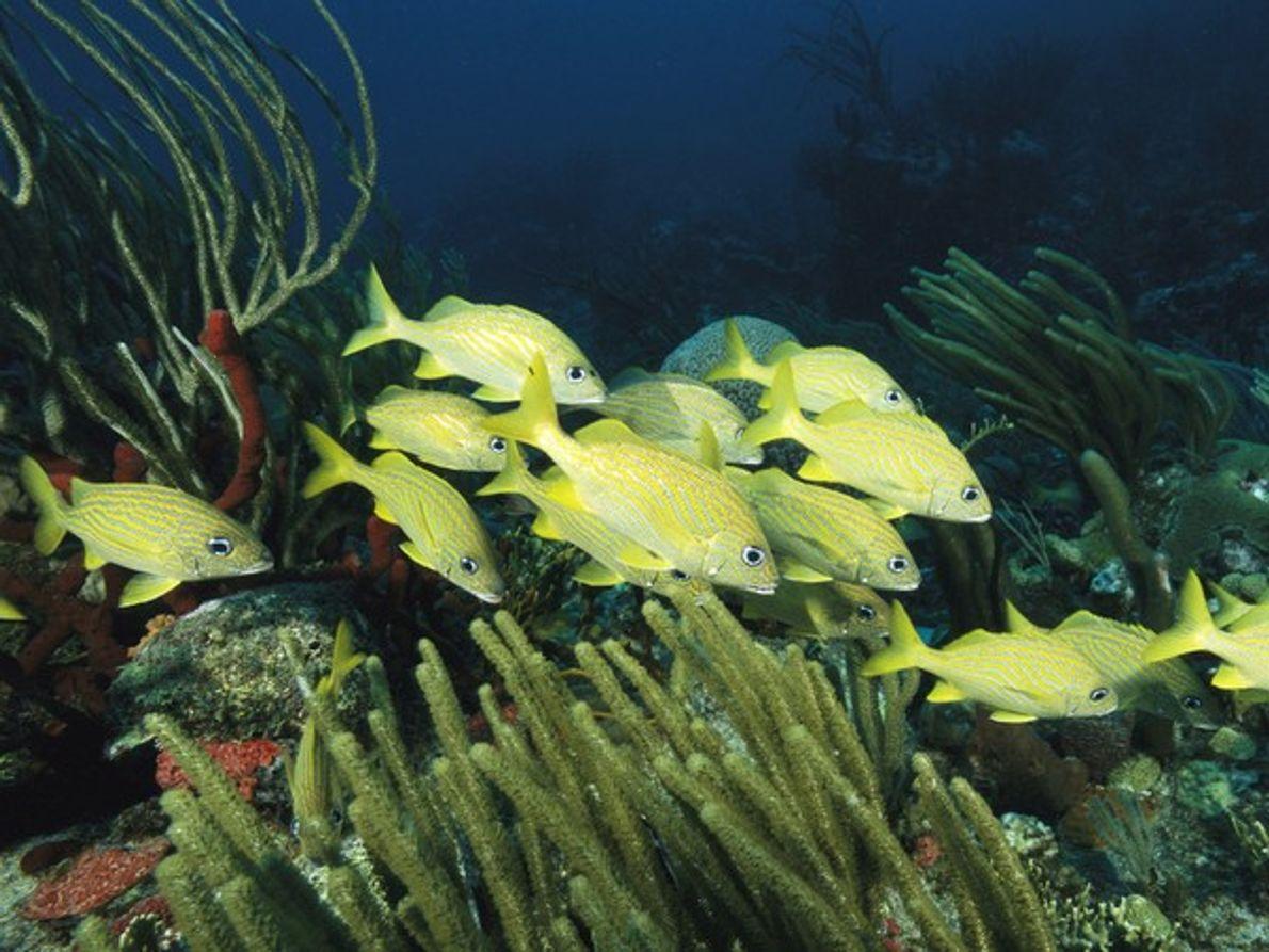 Un banco de burros listados se mueven majestuosamente por un arrecife de coral en las Islas …