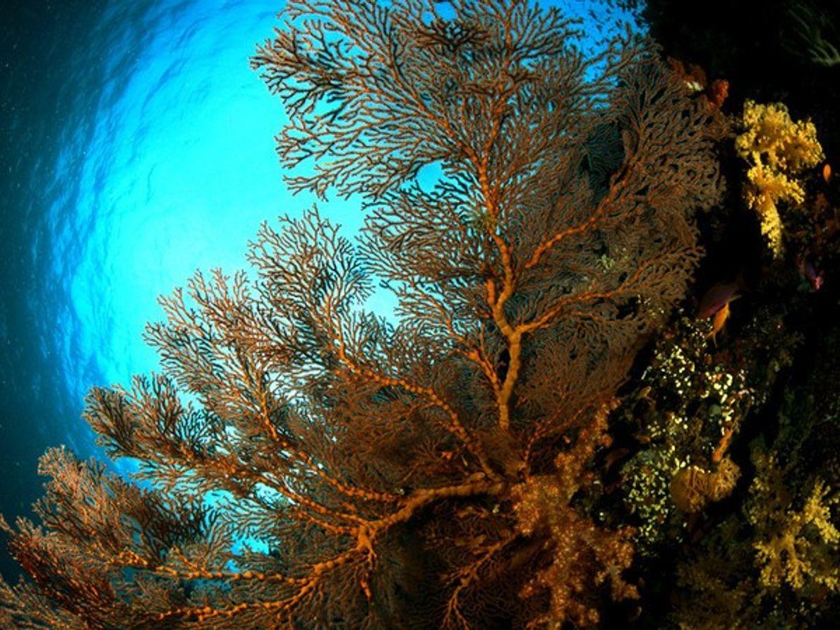 Gran abanico de mar (gorgonia)
