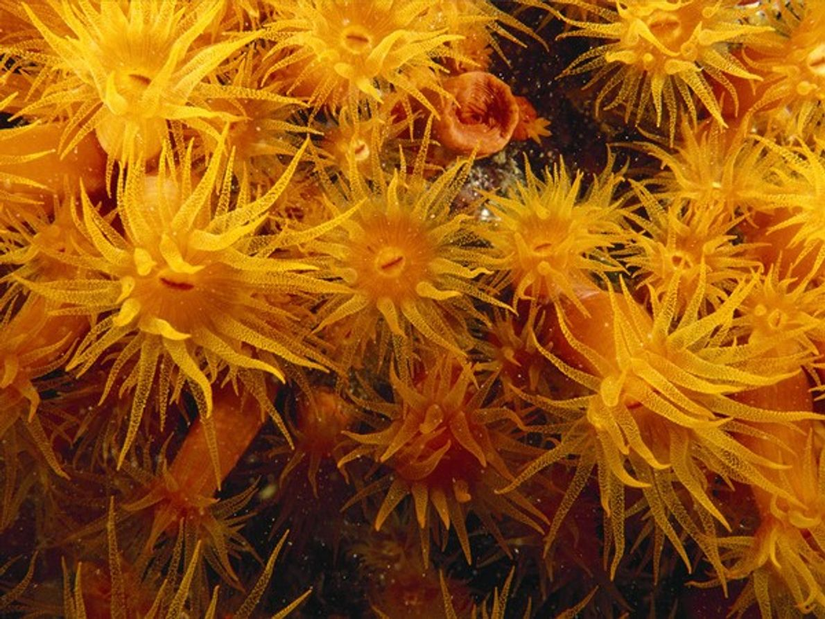 Un coral de copa naranja se concentra en el poste de un muelle de la isla …
