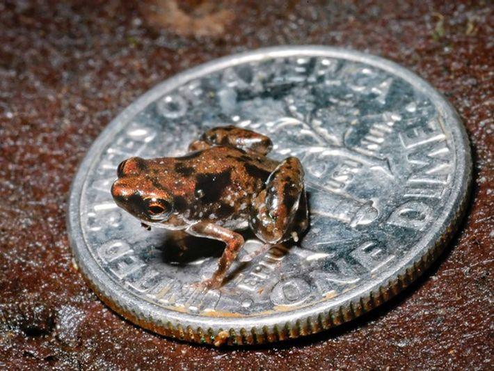 ¿Cuánto mide el vertebrado más pequeño?