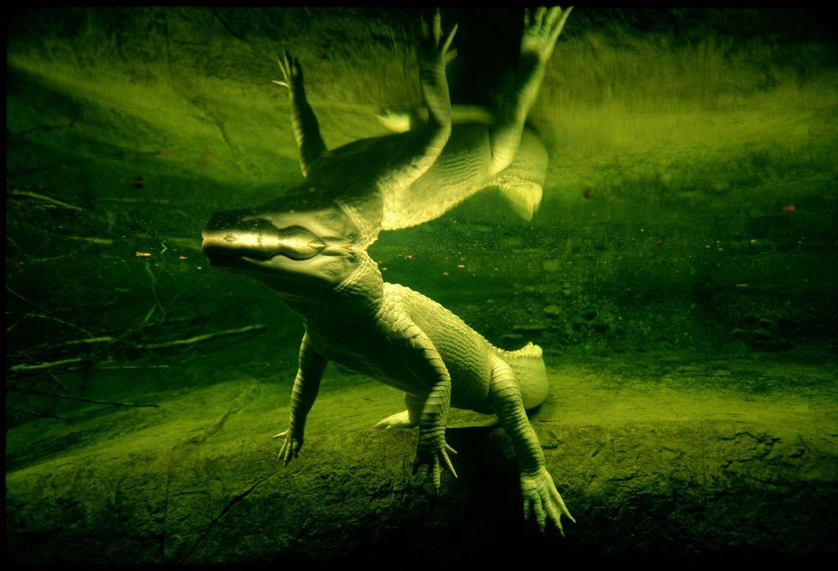 Un aligátor blanco