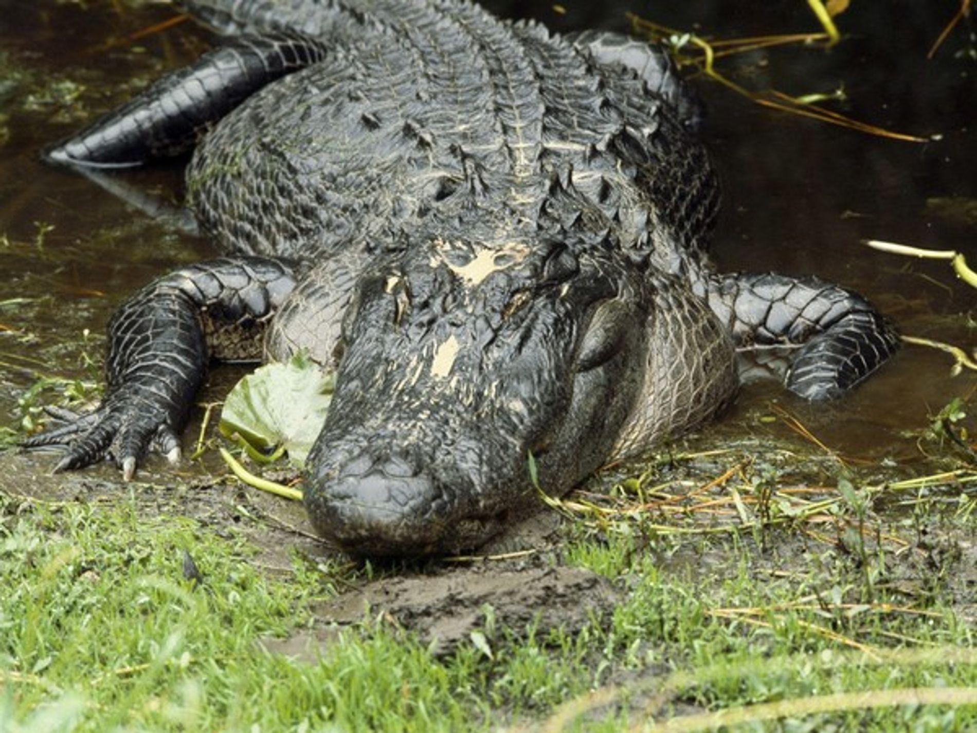 Un caimán americano toma el sol en la orilla del río