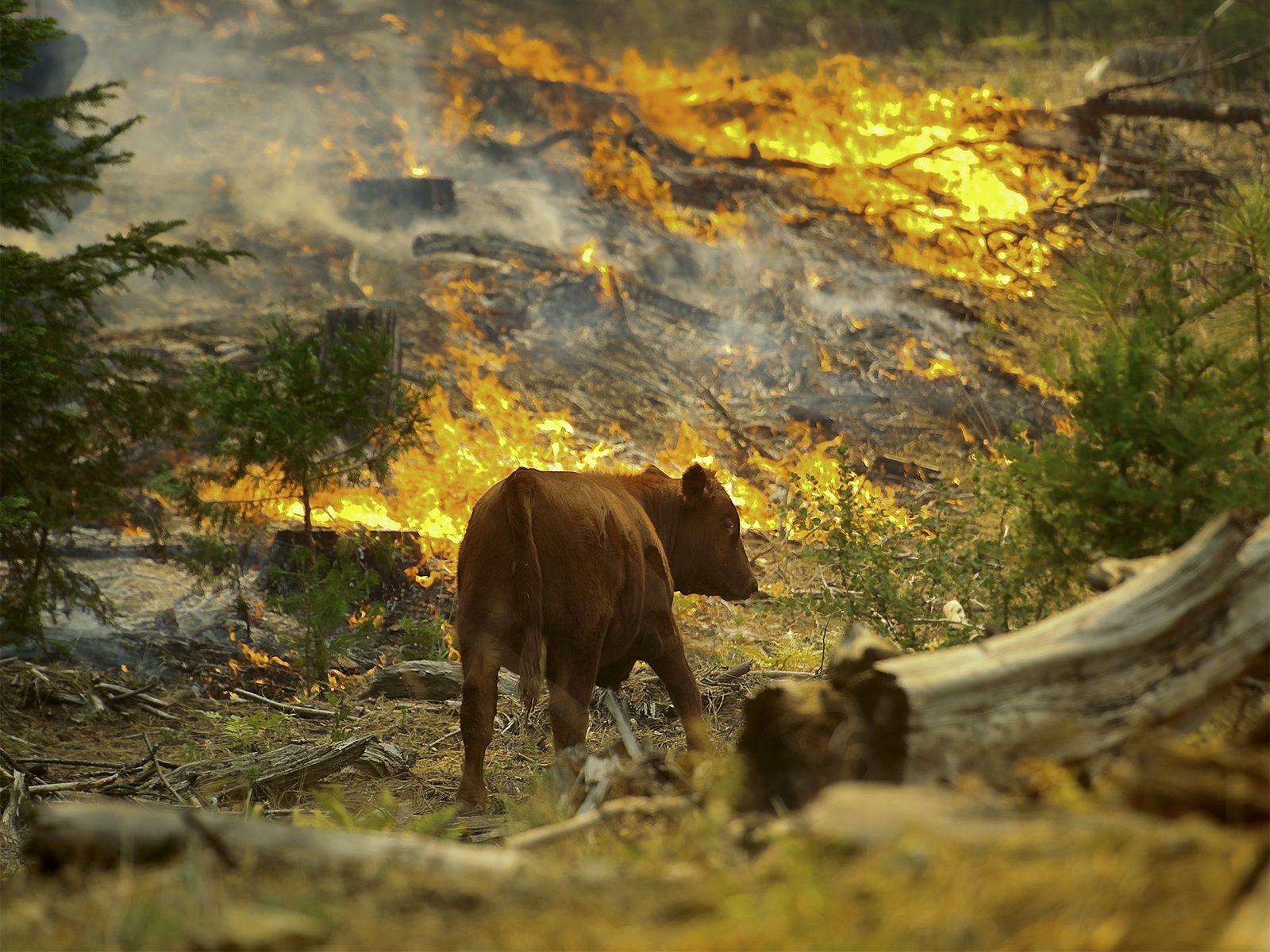 Que Hacen Los Animales Salvajes Durante Los Incendios Forestales National Geographic