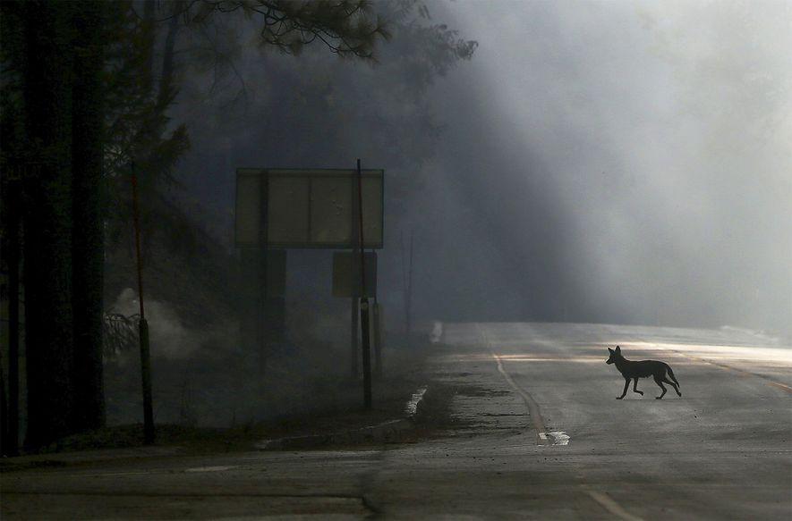 Un coyote atraviesa la Autopista 120, cerrada por el incendio de Rim, cerca de Groveland, California, ...