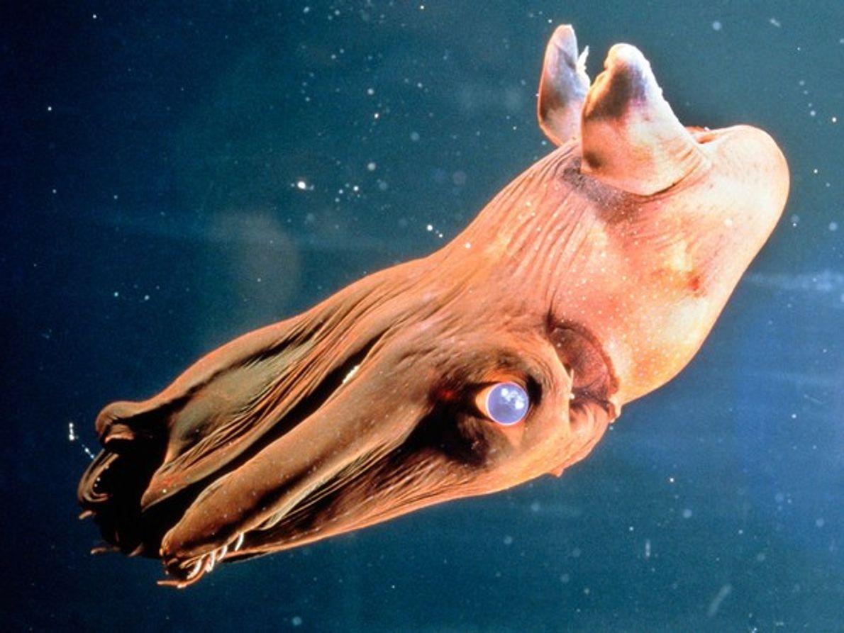 Calamar vampiro
