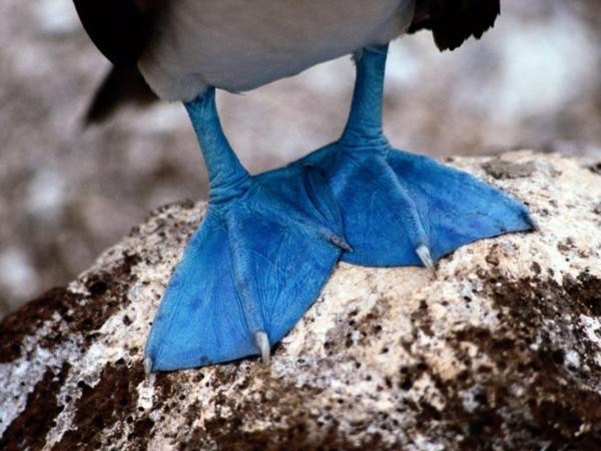 Cuanto más azul, más macho